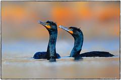 Double crested cormorants (RKop) Tags: raphaelkopanphotography d500 nikkor600f4evr 14xtciii newjersey belmar