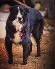 He has his 'game face' on. (Jamie McCaffrey) Tags: stare eyes blackandwhite bicolor bicolour outside aussieshepherd canine fujifilm myfujifilm ottawa australianshepherd dog
