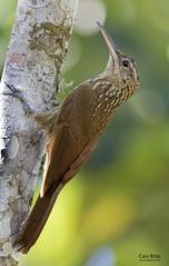 Northern Lesser Woodcreeper (Xiphorhynchus atlanticus)