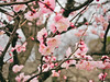 梅 (anna.letoile) Tags: osaka plum castle japan nihon trip spring flower 日本 大阪 大阪城 梅 春 olympus 1442 em10 bokeh bokehlicious blossoms tree pastel tender olympusmzuiko1442 olympusomdem10markii