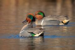 TealTheDeal (jmishefske) Tags: 2018 d850 nikon teal wisconsin bird greenwinged bigmuskegolake duck courting display muskego april