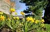 Een mooie lentedag in de Leuvense Kruidtuin (07/04/2018) (Kristel Van Loock) Tags: leuven louvain lovanio lovaina löwen visitleuven atleuven seemyleuven leuveninbeeld drieduizend 3000 leveninleuven kruidtuin kruidtuinleuven botanicalgarden botanischetuin botanischergarten ortobotanico jardinbotanique jardinbotaniquedelouvain jardimbotanico jardinbotanico giardinobotanico hortusbotanicuslovaniensis leuvensekruidtuin loveleuven lente2018 7april2018 07042018 narcissen narcisses narcissus springflowers lentebloemen yellow yellowflowers flora flores fleurs blumen bloemen flowers fiori vlaanderen vlaamsbrabant visitflemishbrabant visitflanders visitbelgium flanders fiandre flandre flemishbrabant brabantflamand brabantefiammingo belgium belgique belgien belgië belgica springisintheair springtime spring2018 lentedag narcisi
