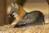 Fox (Ronda Hamm) Tags: greyfox fox wildlife nature nationalpark canon7dii mammal california 100400mkii animal pointreyesnationalseashore