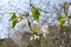 18o8358 (kimagurenote) Tags: 多摩森林科学園 tamaforestsciencegarden 桜 sakura cherry blossom prunus cerasus flower tree 東京都八王子市 hachiojitokyo