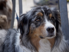 Friendly dog (ToJoLa) Tags: canon canoneos60d eindhoven lente voorjaar spring philipsfruittuin kleuren hond huisdier merle