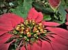 pretty poinsettia (SM Tham) Tags: asia southeastasia malaysia pahang cameronhighlands habu boh teaplantation poinsettia euphorbiapulcherrima plant flower bracts fruit macro