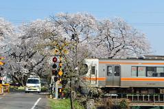 Gifu - Moment in the spring (tcchang0825) Tags: 新境川堤 岐阜 各務原 gifu japan sakura cherryblossom 櫻花 桜 jr 高山本線