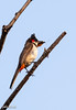 Red-whiskered bulbul, with butterfly (johnthistle) Tags: redwhiskeredbulbul butterfly food canon 100400mm bulbul wild india goa
