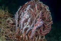 Harlequin Ghost Pipefish - Solenostomus paradoxus (Jim Greenfield) Tags: ambon indopacific indonesia fish starfish crinoid