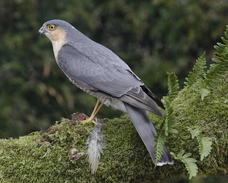 SPARROWHAWK ....Male....Powys....Press L  for more detail.