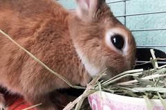 Ichigo san 1109 (Ichigo Miyama) Tags: rabbit bunny cute netherlanddwarf brown ichigo ネザーランドドワーフ ペット うさぎ いちごrabbit いちごいちごさん。うさぎ san
