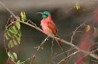 Northern Carmine Bee-eater, Guêpier écarlate (Merops nubicus) - Zakouma National Park, CHAD