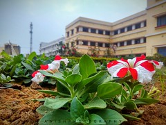 A flower blossoms for its own joy .... (anishmangal) Tags: nature photooftheday ngc npc natural flower house garden rop india mobileclick