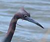 F_042218l (Eric C. Reuter) Tags: birds birding nature wildlife nj forsythe refuge nwr oceanville brigantine april 2018 042218
