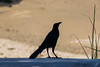 Chango común - Quiscalus lugubris| Carib Grackle (carlosbenju) Tags: naturaleza nature pajaros birds pajaro bird panama beach playa ave
