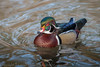 American Wood Duck - male (Aix Sponsa)  'Z' for zoom (hunt.keith27) Tags: the wood duck carolina species perching found north america one most colorful american waterfowl aixsponsa