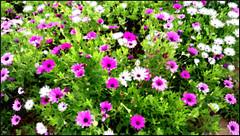 Blooming Marvellous! (evie.edwards) Tags: agadir morocco flowers flower garden clubhoteltikidadunas purple explore