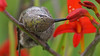 Wrap Your Head Round This... (photosauraus rex) Tags: bird hummingbird