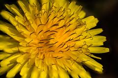 Velcro? (Sonarsgs) Tags: flowers plants weed macro stacking nature
