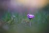 Pink Beauty (VintageLensLover) Tags: gänseblümchen natur outdoor frühling wiese makroaufnahme dof schärfentiefe bokeh schärfeverlauf tokina90mm bokina