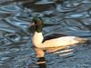 Gänsesäger männl. (wernerlohmanns) Tags: wasservögel wildlife natur outdoor nikond750 sigma150600c schärfentiefe entenvögel naturpark deutschland