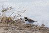 FIN_4039 (dominique.leymarie) Tags: charadriidés charadriiformes charadriushiaticula commonringedplover grandgravelot oiseau