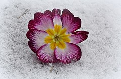 Soreness (SnežanaQ) Tags: flower purple white primula primrose plant snow garden outdoor spring macro cmwdpinkorpurple nikond3300