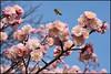 Spring has arrived (hej_pk / Philip) Tags: fujifilm fujifilmxt1 fujixt1 xt1 xtrans gwangju kwangju sydkorea natur nature blommor flowers flowering blossom cherryblossom blooms blooming träd sakura 2018 fujinonxf35mmf2wr xf35mmf2wr 35mm525mm fujinon fujinonxf35mmf2rwr vår spring springtime