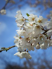 ✪ご近所の桜 -愛知県犬山市- (m-miki) Tags: nikon d610 japan 愛知 犬山 五条川 桜 花 春 cherry blossoms flower spring inuyama