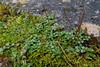 Epilobium brunnescens (Nelleke C) Tags: 2017 epilobiumbrunnescens kylemoreabbey newzealandwillowherb connemara countygalway flora holiday ierland ireland onagraceae vakantie