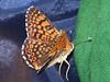 Melitaea cinxia - Glanville fritillary - Шашечница обыкновенная (Cossus) Tags: 2009 nymphalidae nymphalinae фенёво шашечница melitaea fritillary