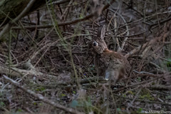 Attention j'arrive !!! (musette thierry) Tags: lapin annimal animaux animalier nature belgium chasse bois forêt capture prise photo mars march