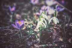 """""""Very little is needed to make a happy life. It is all within yourself, in your way of thinking."""" (***étoile filante***) Tags: crocus krokus snowdrop schneeglöckchen flower blumen natur nature beauté beauty beautiful poetic poetisch emotions spring frühlingshauch frühling nikon"""