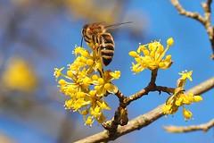 A honey bee seking nectar and pollen on a European cornel. (Bienenwabe) Tags: bee honeybee apis apismellifera apiaceae biene honigbiene gelberhartriegel hartriegel kornelkirsche spring cornusmas cornus cornaceae gelberhartriege
