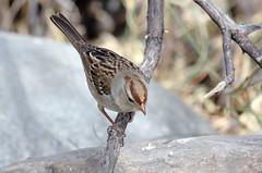 Clay-colored Sparrow (Spizella pallida); Catalina, AZ, Catalina Regional Park [Lou Feltz] (deserttoad) Tags: wildlife nature arizona tree desert plant bird wildbird sparrow park