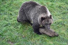 its mine (dan487175) Tags: bear brownbear orso sack sniffing intrested food fur zoo nikon exploring mammal paws photo photography grass brown green