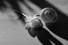 IT'S WEEKEND! (Ageeth van Geest) Tags: macro closeup 7dwf flora sundaylights zwartwit stilleven spiral shadow monochrome blackadwhite bw flower shell crocus stilllife