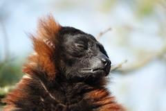 Don't talk to me (eric zijn fotoos) Tags: holland sonyrx103 animal monkey artis aap dier zoo dierentuin nederland noordholland kopstudie headshot