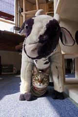 cat (NEKOFighter) Tags: cat neko cow nikon japan ねこ 猫 animal