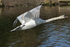 One of last years cygnets (david.england18) Tags: muteswan swan cygnet lake flying island birdsinflight canon7dmkll canonef70200mmf28lisllusm queensparkheywood