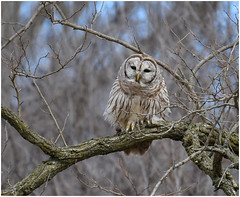 Barred Owl (Sun~Lover) Tags: owl barred illinois spring woods strixvaria hootowl forest mature trees hoot northern northamerica woodland area true familystrigidae explore 2018