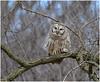 Barred Owl (Sun~Lover) Tags: owl barred illinois spring woods strixvaria hootowl forest mature trees hoot northern northamerica woodland area true familystrigidae explore 2018