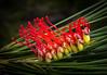 Grevillea hookeriana - Red toothbrushes (loveexploring) Tags: australia australiannativeplant grevilleahookeriana hookersgrevillea ravensthorperange redtoothbrushes southwestwesternaustralia westernaustralia flower grevillea plant proteaceae shrub wildflower