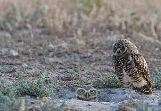 Wait, where did you come from? Cute little burrowing owls - 4302b+