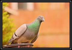 """Ready For Take Off..."" (NikonShutterBug1) Tags: nikond7100 tamron18400mm birds ornithology wildlife nature spe smartphotoeditor birdfeedingstation bokeh woodpigeon"