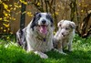 Chilling With my Bro (Chris Willis 10) Tags: garden play puppy star dog animal cute pets grass mammal outdoors small younganimal nature canine purebreddog friendship playful looking fun domesticanimals playing fur will bordercollie sheepdog ball tug famil