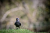 19th April 2018 (Rob Sutherland) Tags: jackdaw corvusmonedula eurasian western bird common garden native natural british britain europe european uk cumbria cumbrian england english ambleside loughrigg standing facing quizzical look front