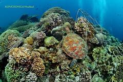 I've got sunshine... (kayak_no1) Tags: wide angle 15mm sigma fisheye nikon d800e nauticamhousing 15mmsigmafisheye ysd1 underwater underwaterphotography wa wideangle diving scubadiving uw moalboal philippines turtle