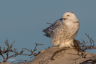Snowy Owls of New Jersey | 2017 - 39