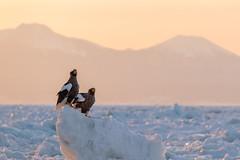 Steller's Sea Eagles (BP Chua) Tags: eagle eagles bird nature wild wildlife birdofprey iceberg ice snow winter mountain sunrise animal japan hokkaido rausu canon 1dx